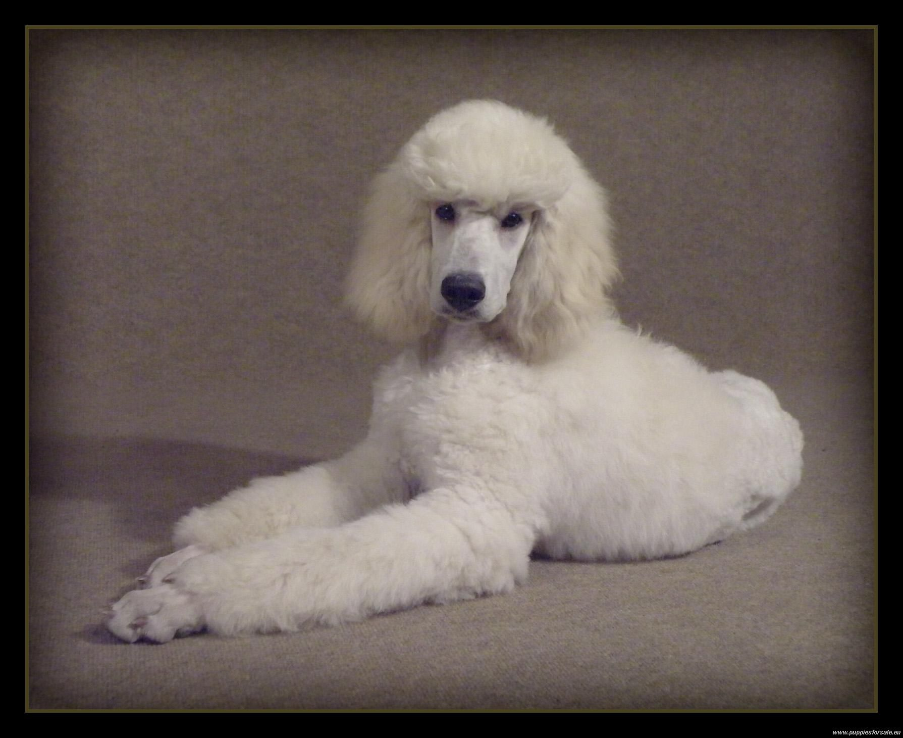 Standard Poodle Puppies For Sale Poodle Standard 1090