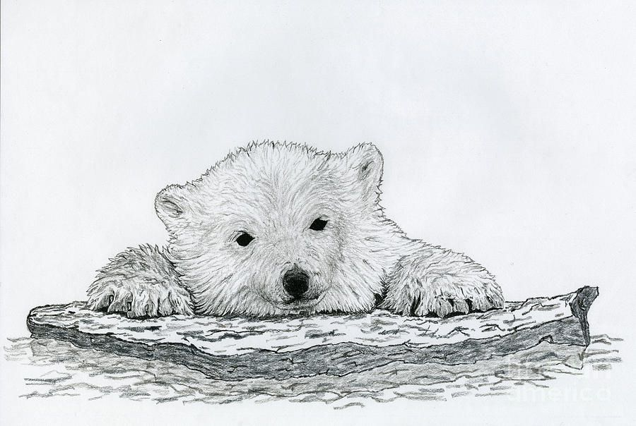 Polar Bear Cub Canvas Print / Canvas Art By Chris Trudeau