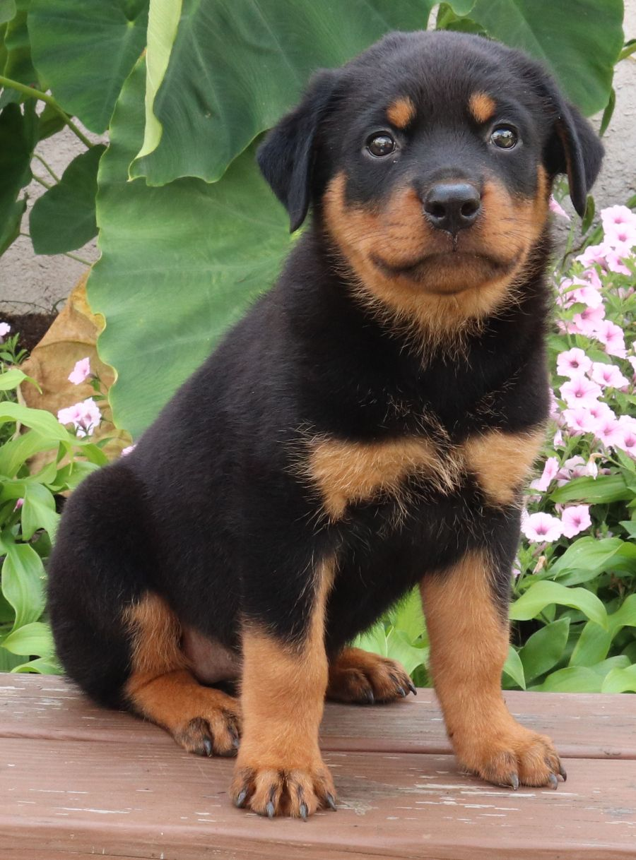 Pin By Lola O Neil On Rottweiler In 2020 Rottweiler Puppies Rottweiler Puppies