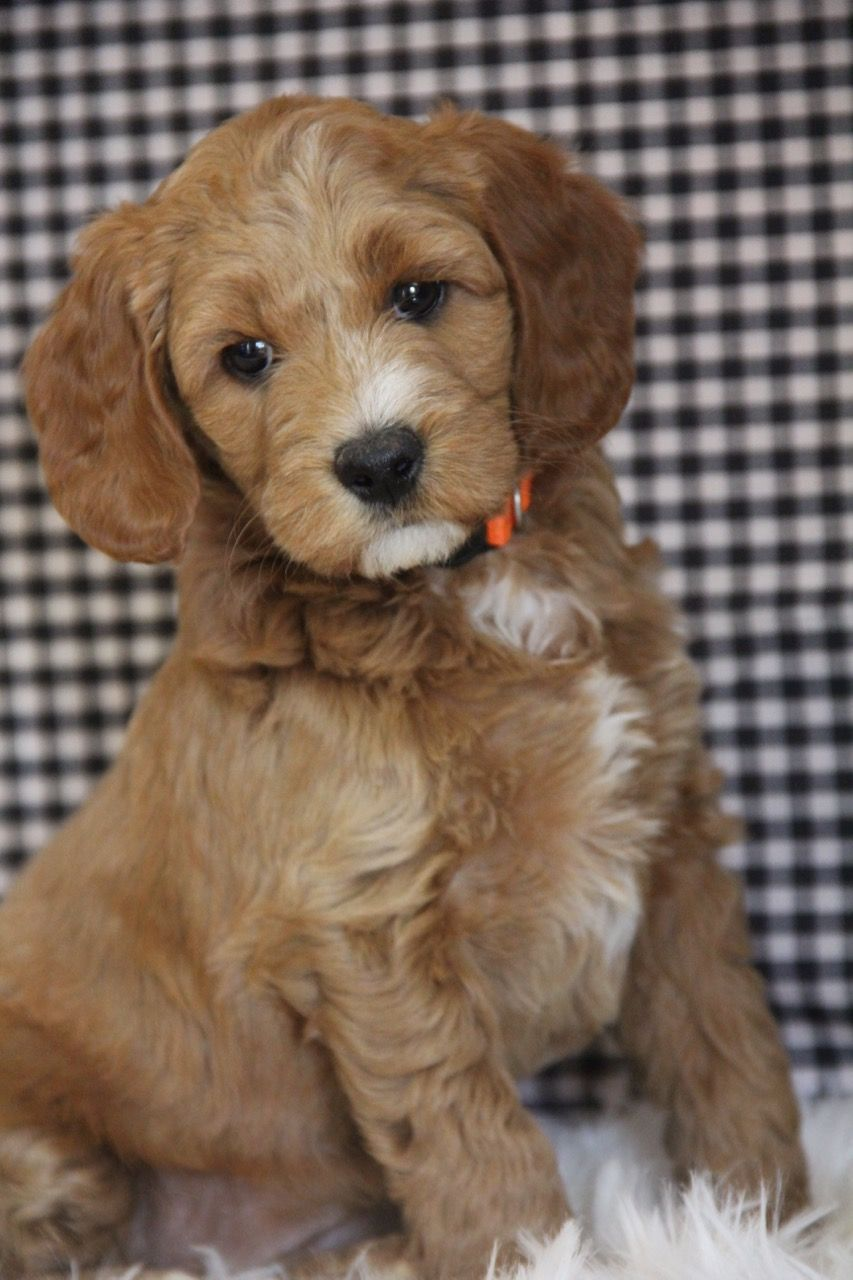 1 Designer breed in 2020 Cute dogs and puppies