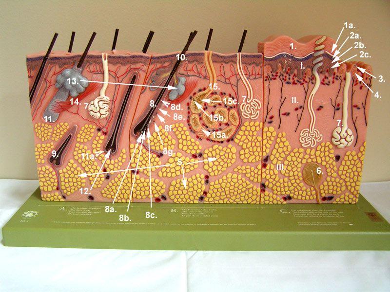Skin Model Ap2innescle Pinterest Biology Lab And