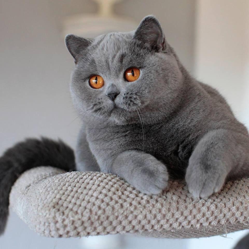 Britisch Kurzhaar Eine Schonheit Diese Katzen Sind Sehr