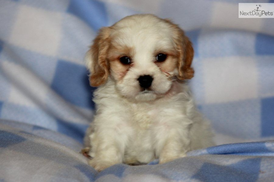 Cavachon Dog For Adoption In Landenberg Pa Adn 733500 On