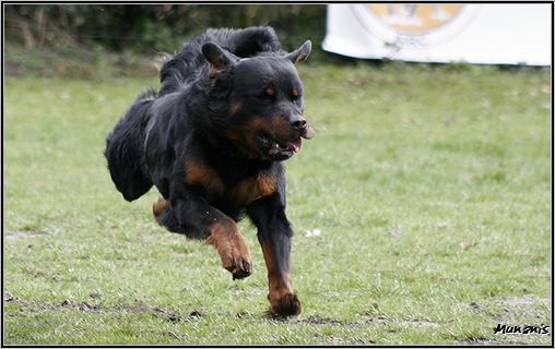 Long Haired Rottweiler Catahoula Leopard Dog Rottweiler