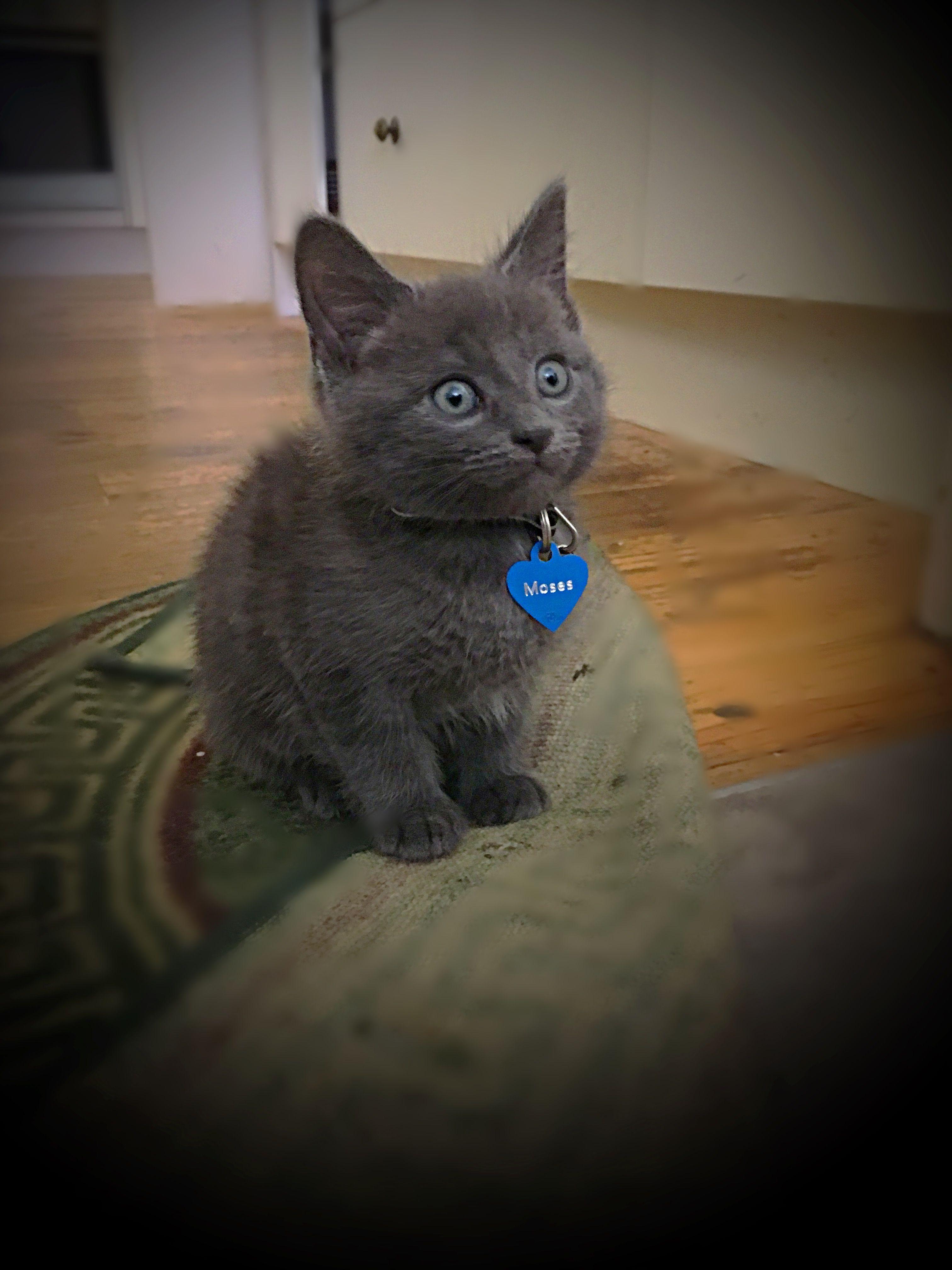 Gorgeous 9 Week Old Russian Blue Kitten Kittensofinstagram
