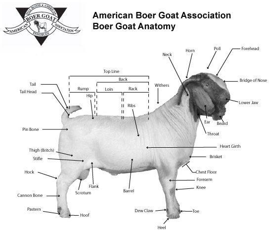 Boer Goat Anatomy | Goats | Pinterest