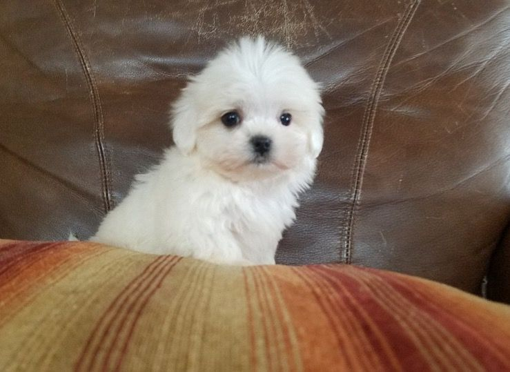 Maltese Puppy For Sale In Los Angeles Ca Adn 59374 On
