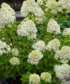 Die haben wir im vorgarten rispenhortensie 39 limelight for Minimalistischer vorgarten
