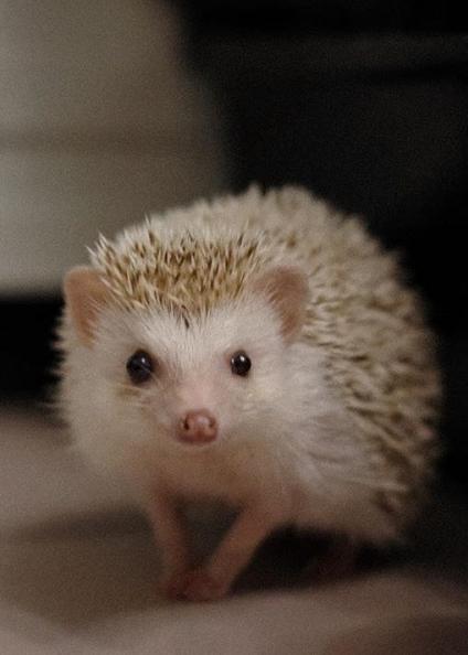 How To Raise A Pet Hedgehog Gloria Love Pets In 2020 Hedgehog Pet Love Pet Interesting Animals