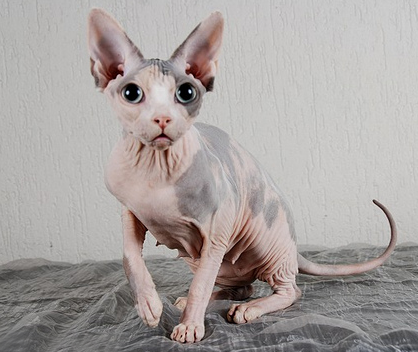 Sphynx Cat Never Fails To Draw A Reaction From People Some