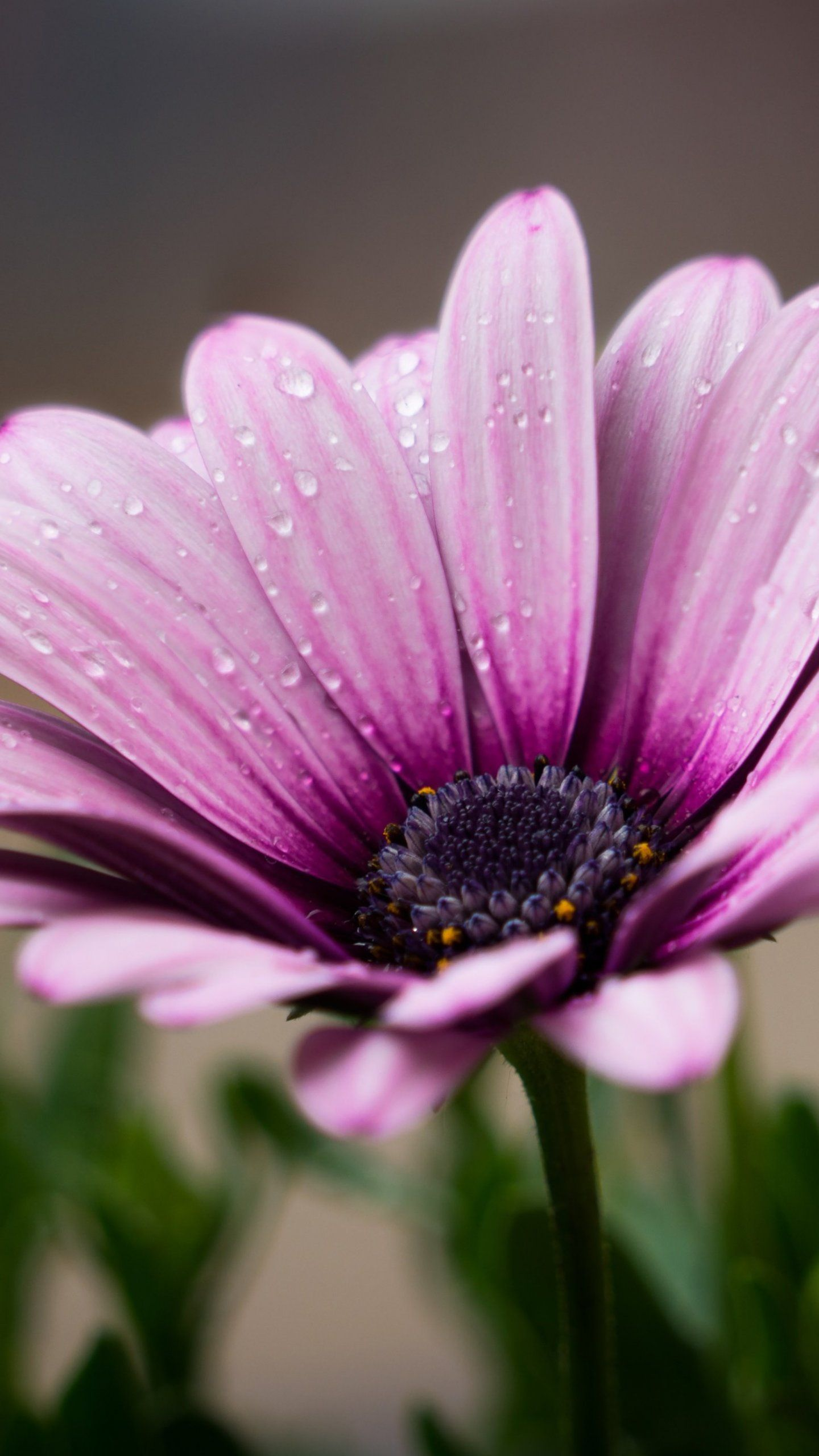 Dew on Purple Daisy Wallpaper iPhone, Android & Desktop