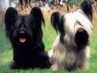 Skye Terrier Skye Terrier Terrier Dog Breeds