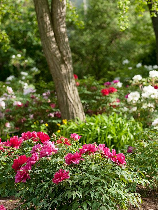 Perennial flowers that bloom all summer pinterest perennials peony one of the most beloved flowers in spring this bushy perennial produces big round buds that open to large fragrant blooms mightylinksfo