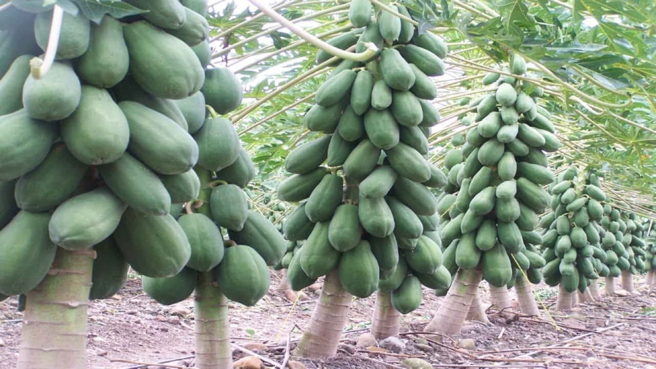 Excellent Info Your Fruit Trees Will Produce 5 Times More Fruits If You Do This Fruit Trees Papaya Tree Plants