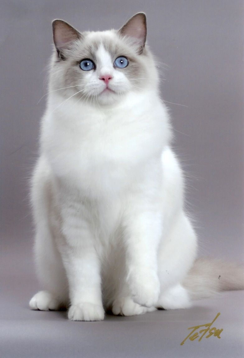 Ragdoll Cat Is A Cat Breed With Blue Eyes And A Distinct Colorpoint Coat It Is A Large And Muscular Semi Longhair Cat Cat Breeds Ragdoll Cute Cats Ragdoll Cat