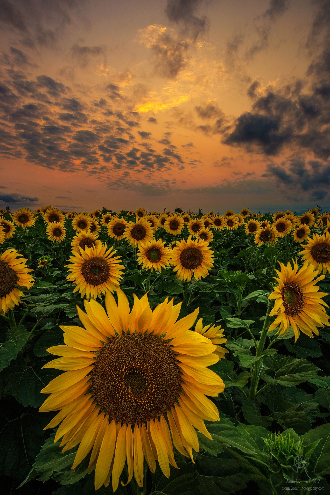 Sunflower Sunset - Sunset last night from a gorgeous ...