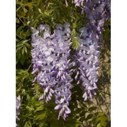 Wisteria Sinensis Blue Chinese Wisteria Seeds From Shoot Gardening Biennial Plants Plants Perennials