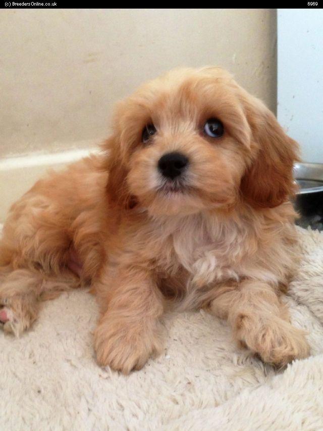 Stunning Toy Poodle X Cavalier Cavalier King Charles Dog Breeds Dog Cat