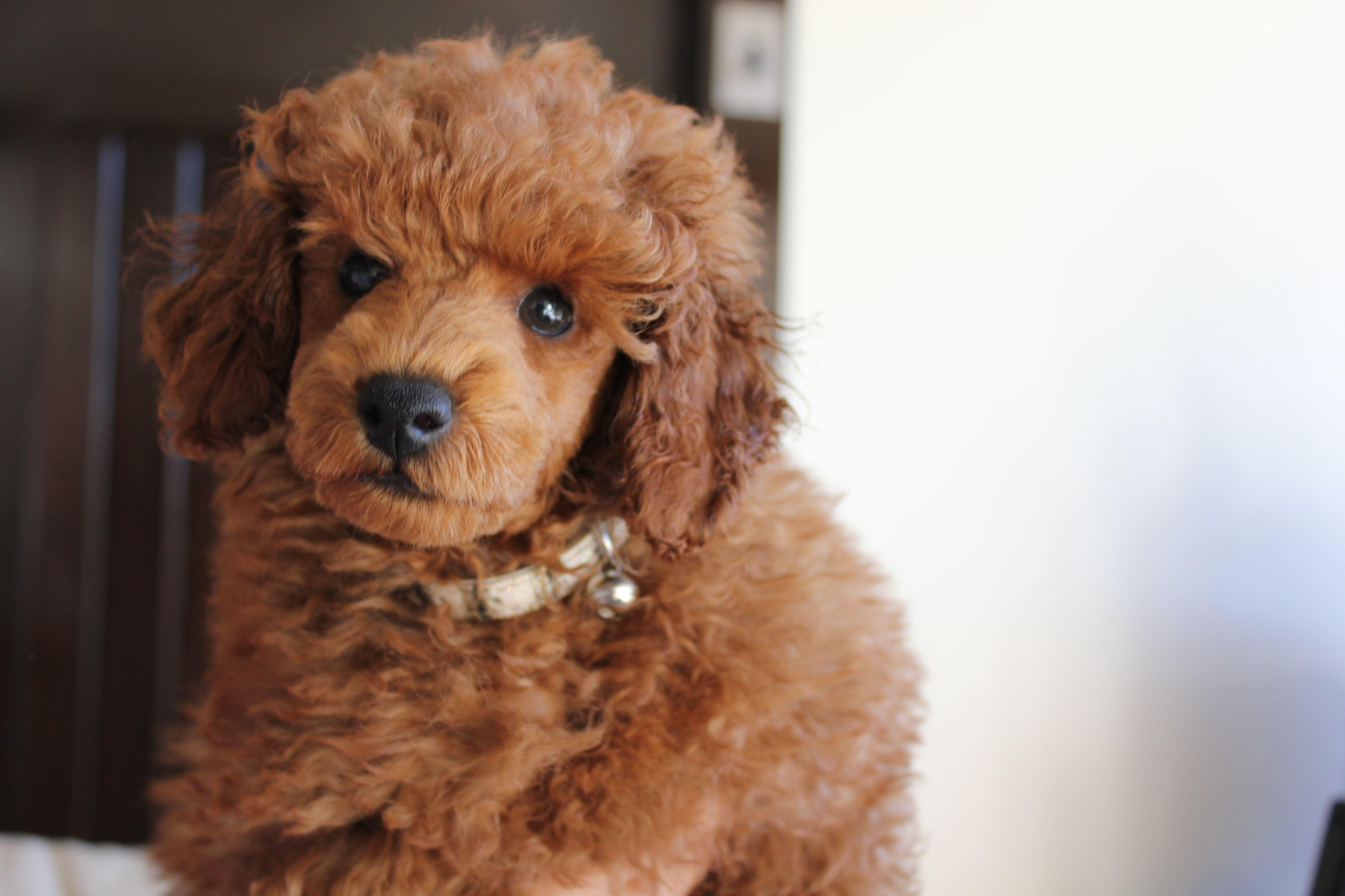 Leo Adorable Poodle Puppy 8 Weeks Old Dog Training Dog