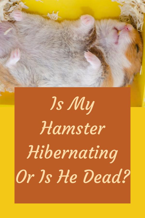 Is My Hamster Hibernating Or Is He Dead?   Hamster, Funny hamsters, Hamster  care
