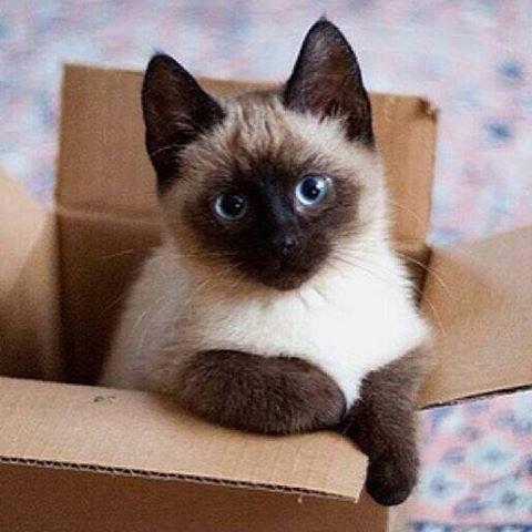 Pin by Amanda Dawson on Cute Siamese cats, Kittens, Cats