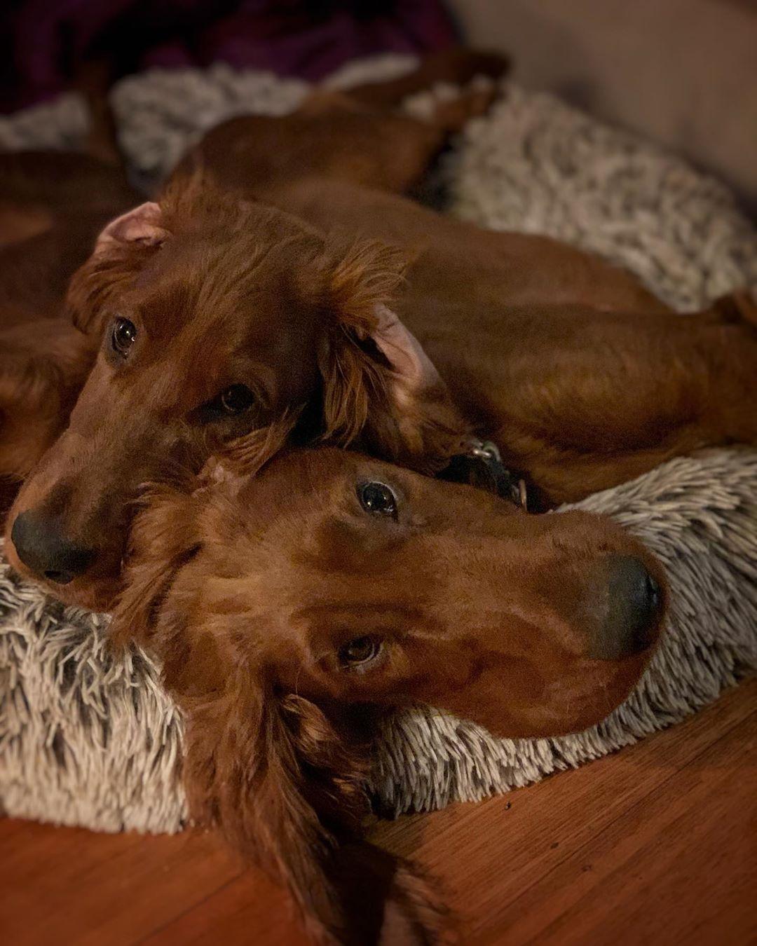 Night friends Irish setter puppy, Irish setter, Red and