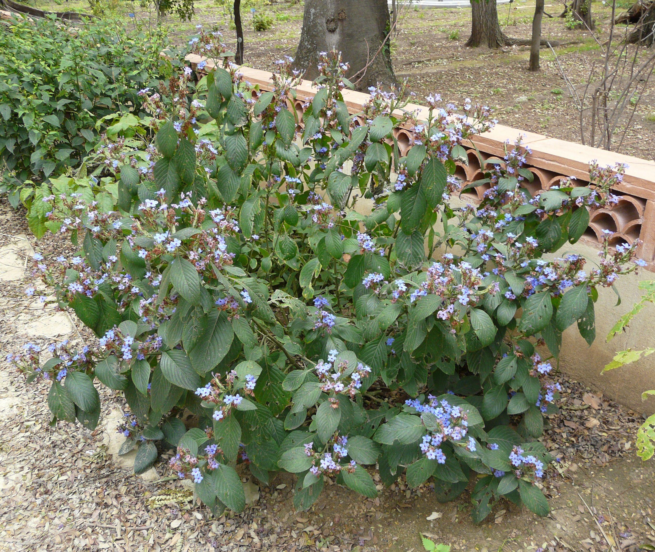 Flowers that like sun and moist soil - Eranthemum Pulchellum Blue Sage Sun Ls Moist Soil Blooms Most Year In Ctrl Florida Zone