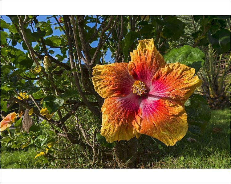 Print Of Hibiscus Flower Moorea French Polynesia In 2020 Hibiscus Flowers Hibiscus Flowers