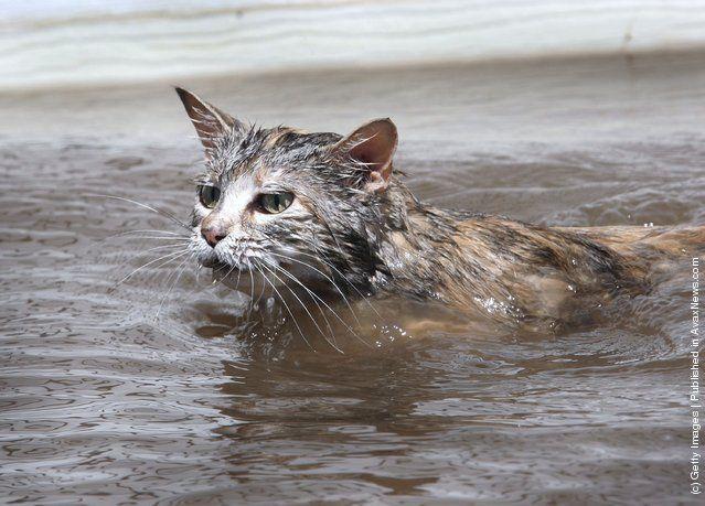 000032ba Medium Jpeg 639 459 Cats Swimming Cats Animals
