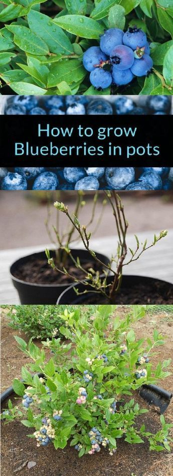 Container Grown Blueberry Plants  How To Grow Blueberries In Pots