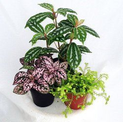 A List Of Low Light Terrarium Plants Garden Fairy Garden Plants