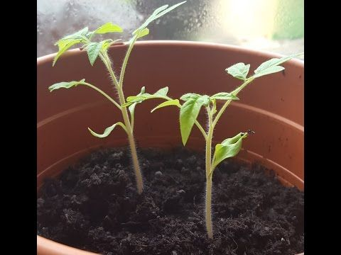 how to grow tomatoes from seeds from fresh tomatoes step1 - YouTube #tomatenzüchten