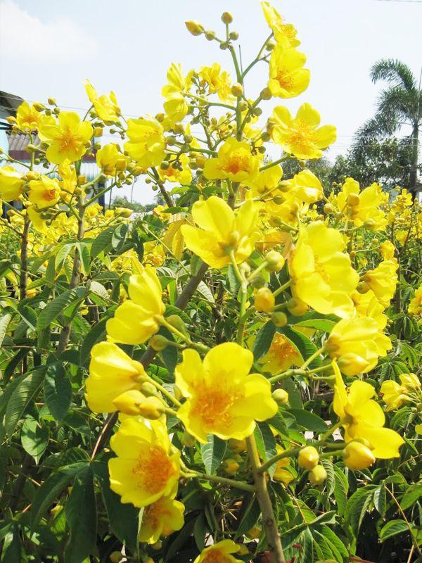 Bixaceae - Wikispecies