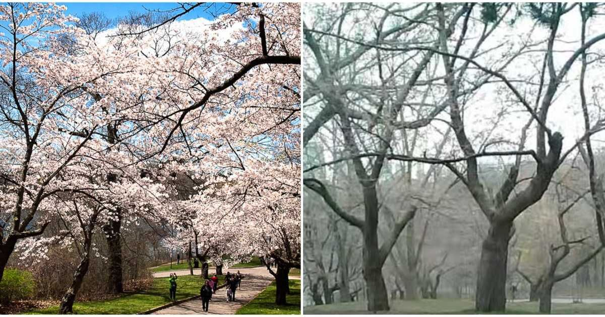 Toronto S High Park Cherry Blossom Cam Is Live But Nothing Is Blooming Cherry Blossom Cherry Blossom Season Bloom