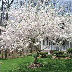 Yoshino Cherry White Flowering Trees Yoshino Cherry Tree White Blossom Tree