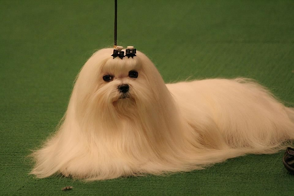 Maltese Beauty At The Westminster Kennel Club Dog Show Dog