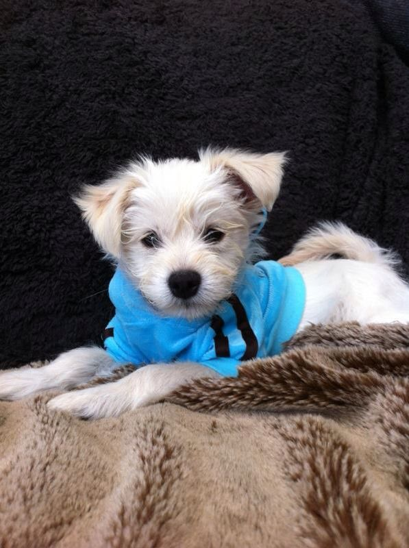 My Teddy Bear Half Westie Half Chihuahua Cross Chihuahua Terrier Mix Chihuahua Terrier Dog Breeds