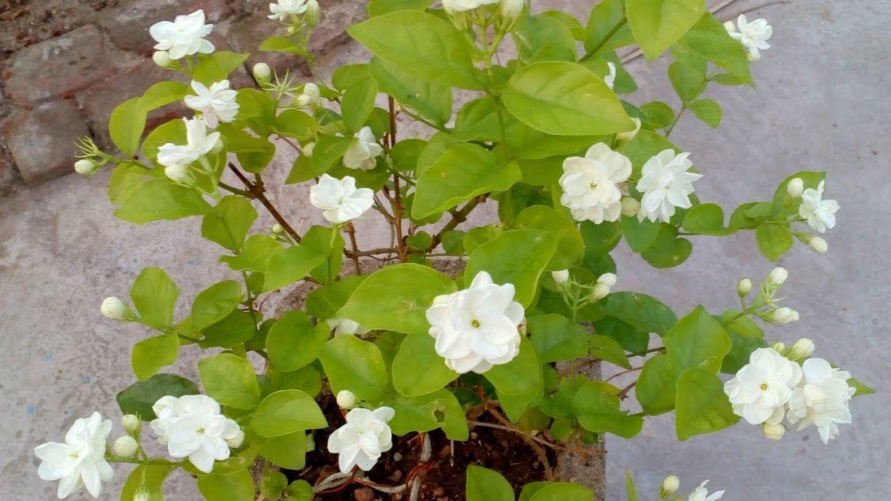 How to grow jasmine plant in the pot iekler pinterest how to grow jasmine plant in the pot izmirmasajfo