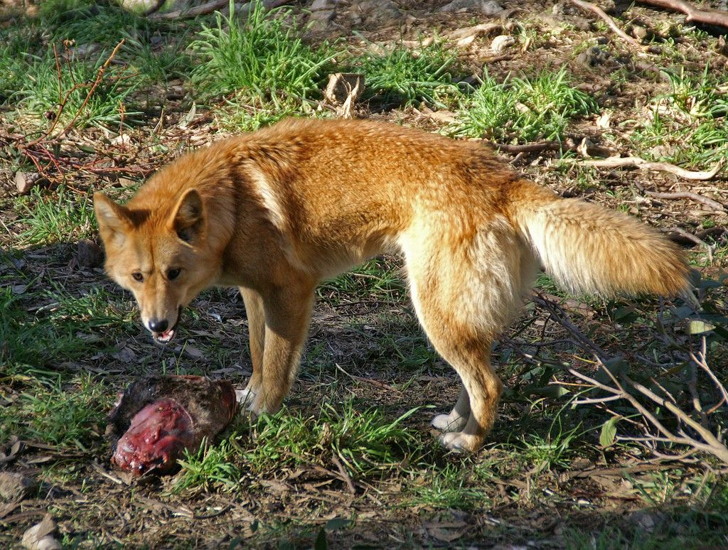 596256241_d8902c4d66_b Dogs, Dingo, Wildlife park