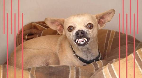 Attack of the Killer Chihuahua [VIDEO]
