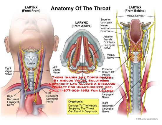 Throat Anatomy Anatomy Of The Larynx From The Front Top And Back