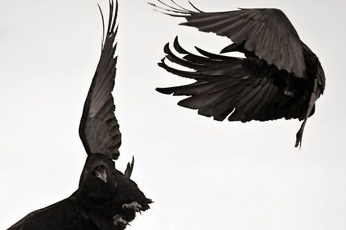 Image result for crows flying Pinterest
