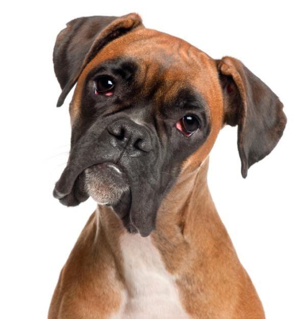 Cómo Educar Un Perro Bóxer Boxers Pinterest Boxer Dogs Dogs