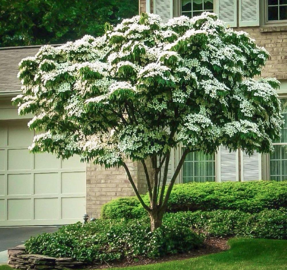 White Kousa Dogwood Tree In 2020 Kousa Dogwood Tree Kousa