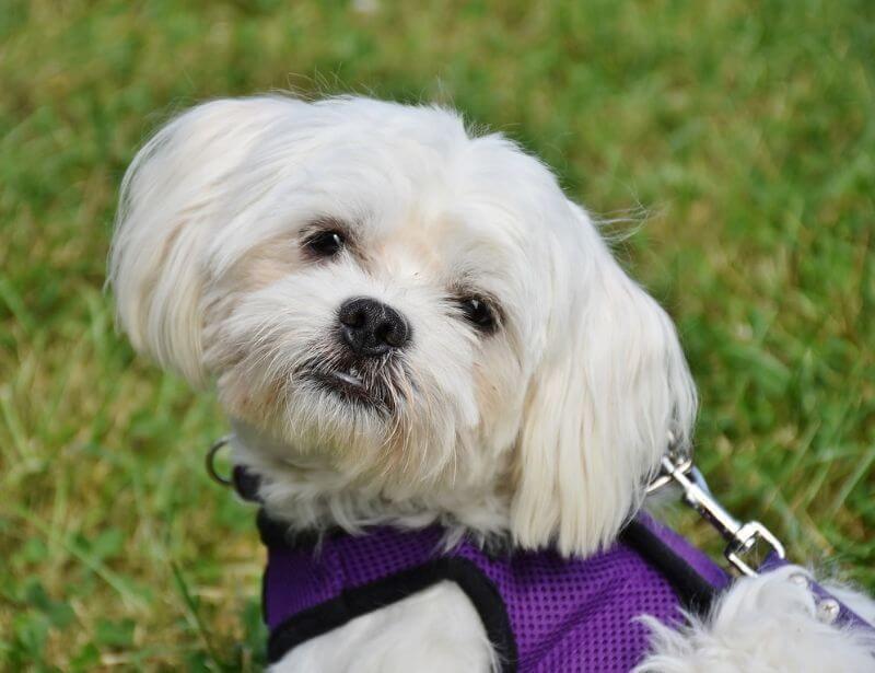 99 Maltese Terrier Hypoallergenic In 2020 Dog Walking Services Hypoallergenic Dog Breed Dog Stock Photo
