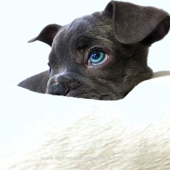 Beautiful Blue Eyed French Bulldog Cute Animals Cute Puppies French Bulldog Puppies