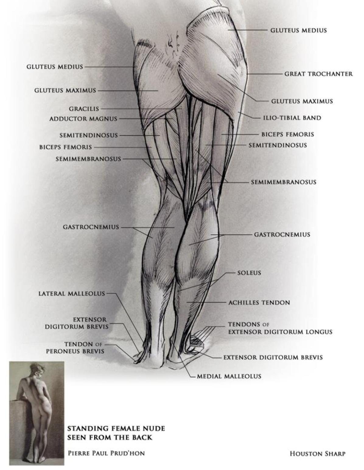 Legs (female, back). #art #anatomy #artreference #anatomyreference ...
