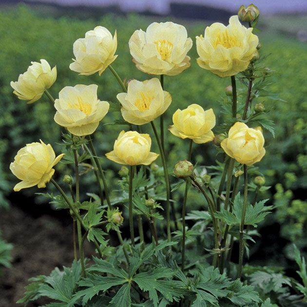 Trollius new moon use when bold colour is needed in a shady area large creamy yellow flowers on strong upright stems make beautiful cut flowers likes moist and shady areas mightylinksfo