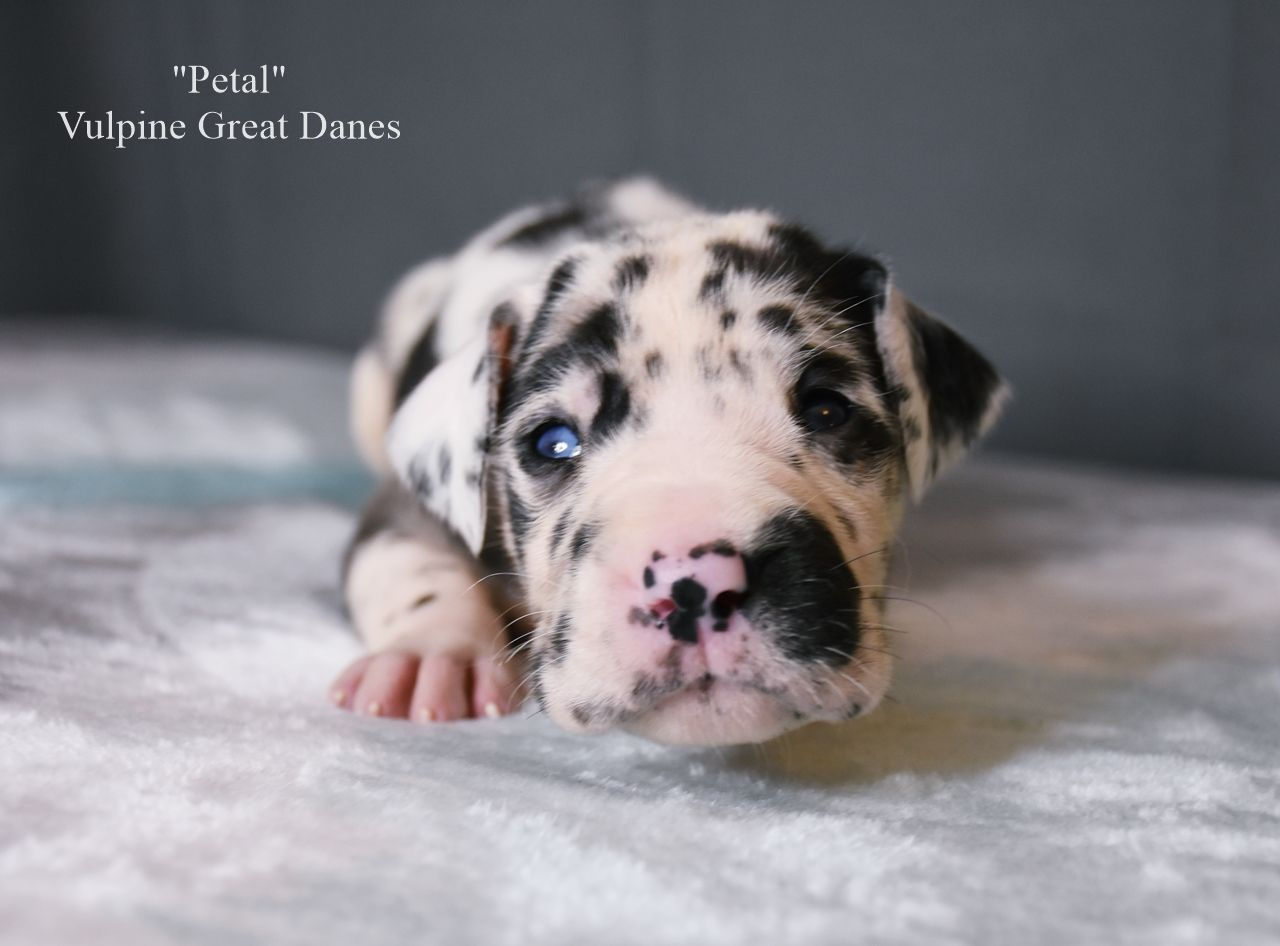 Harlequin Puppy Petal Great Dane Dogs Great Dane Puppy Great Dane