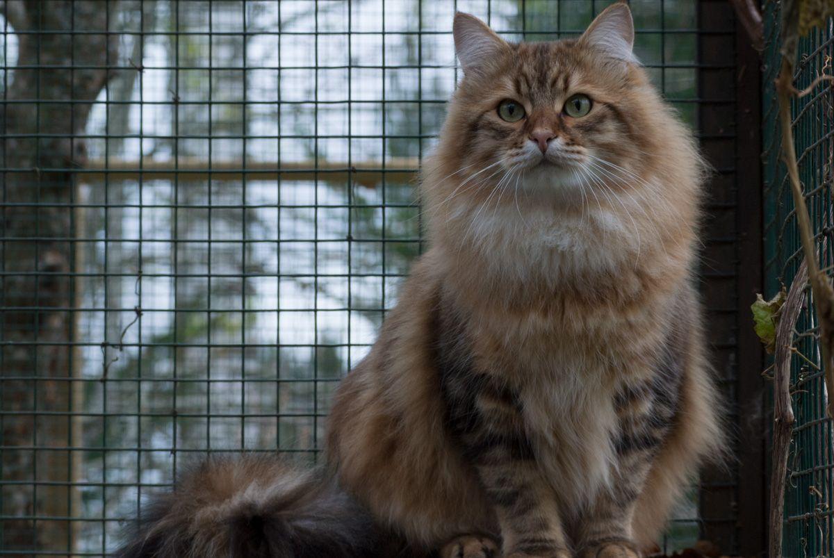 Siberian Cat Repe Siperiankissa Repe Siberian Cat Cats Animals
